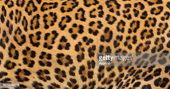 Leopard fur background. : Stock Photo