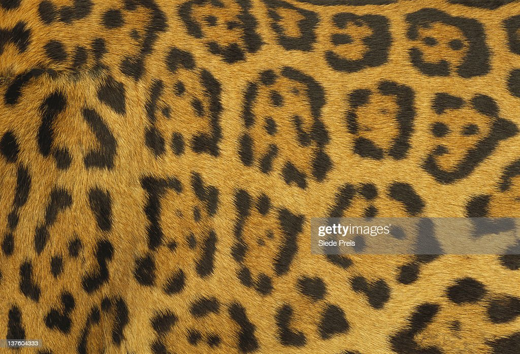 Leopard Fur : Stock Photo