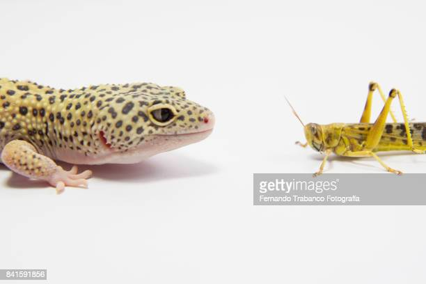Leopard gecko attacks an insect