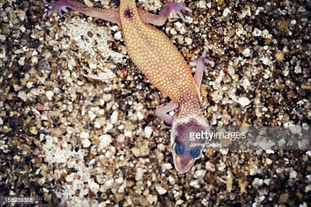 Leopard Gecko Hatchling
