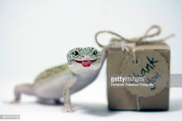 Leopard gecko sticking out his tongue and grimacing with thank you gift box