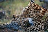 Leopard (Panthera pardus) grooming leopard cub, close up, Masai Mara, Kenya