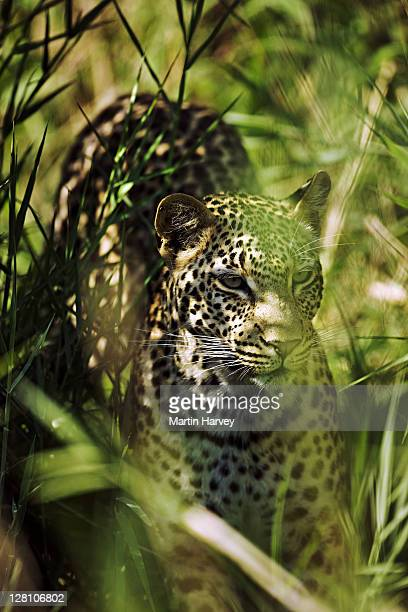 Leopard (Panthera pardus). Hidden in long grass. Savanna Private Game Lodge, Sabi Sand Game Reserve, bordering the Kruger National Park, South Africa. Dist. Africa to Far East & South East Asia. (PR: Property Released)