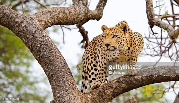 Léopard dans un arbre-Afrique du Sud