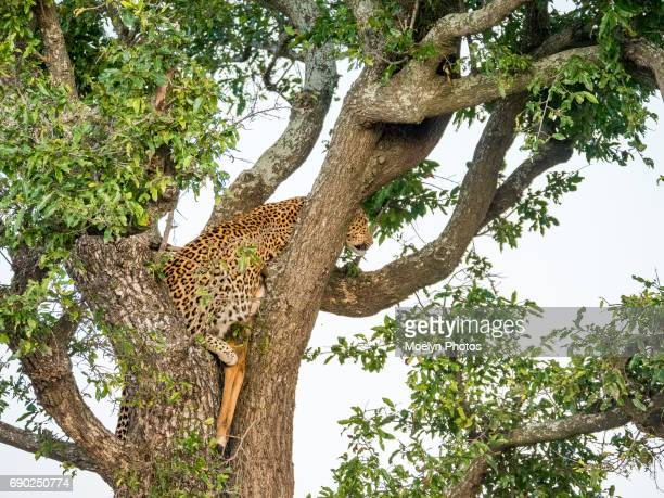 Leopard in a Tree with her Kill-HDR