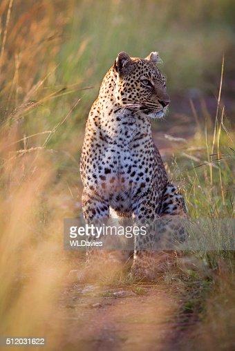 Leopard in early morning light