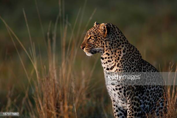 Leopard in long grass looking into distance