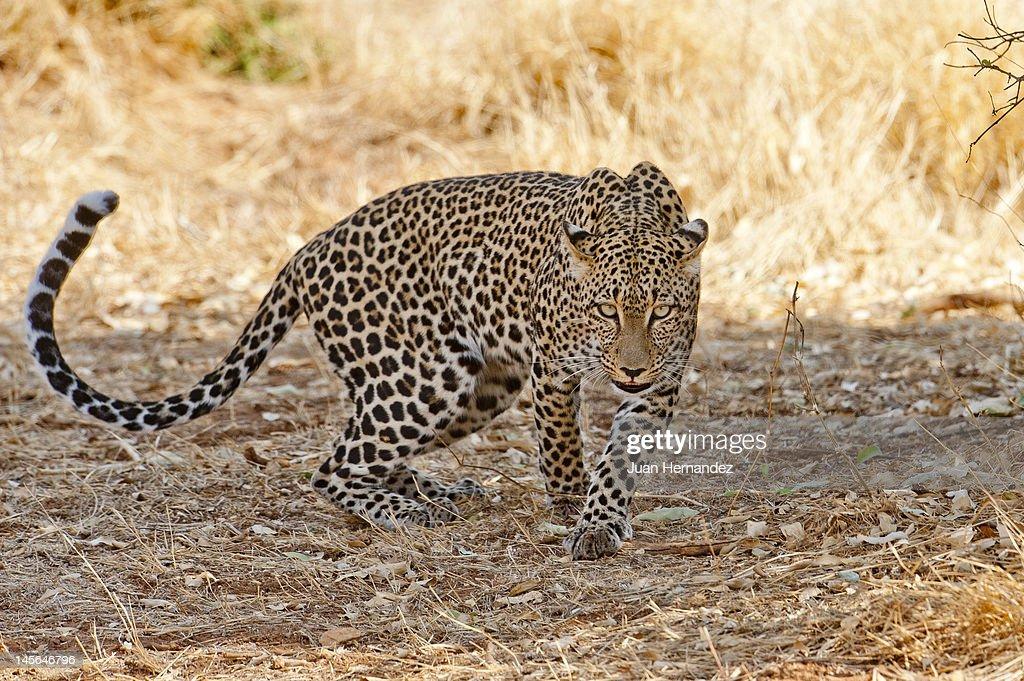 Leopard in Samburu : Stock Photo