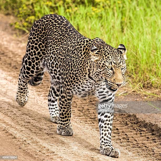 Léopard dans la randonnée et d'observation de savannah
