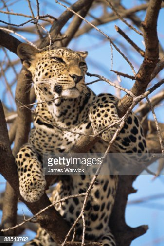 Leopard in tree : Stock Photo