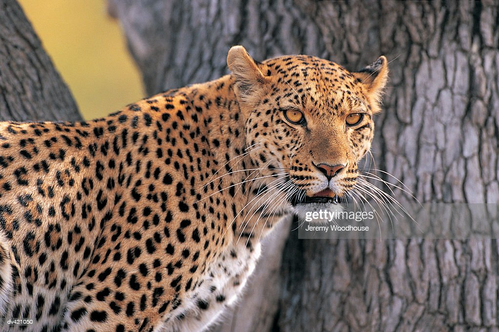 Leopard (Panthera pardus) in tree : Stock Photo