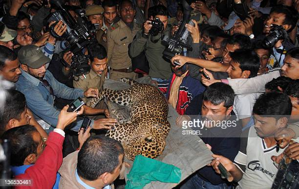 A leopard is carried by zoological park officials after the feline attacked people in a residential neighbourhood of Silphukhuri area in Guwahati on...