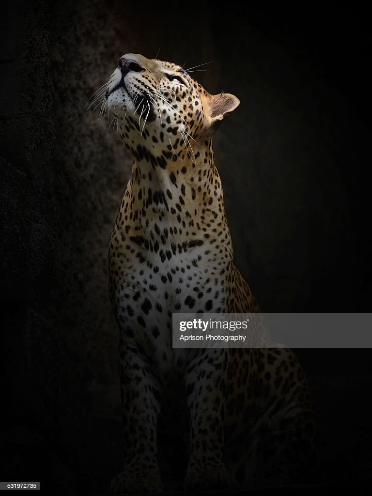 Leopard is looking up to the light source
