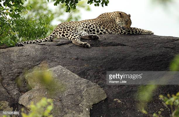 A leopard is pictured on a rock in the Kruger National Park in Malelane South Africa