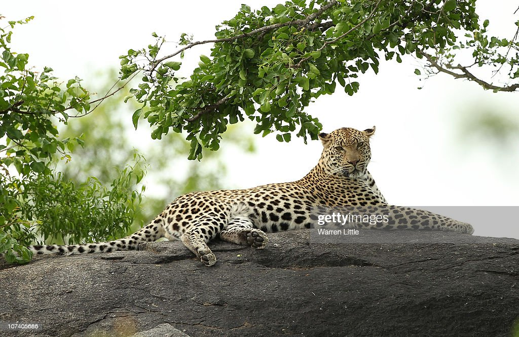 A leopard is pictured on a rock in the Kruger National Park in Malelane, South Africa.