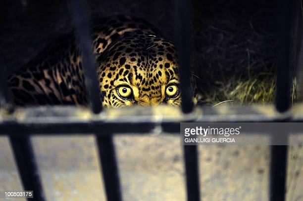 A leopard is treated at the Shamwari wildlife hospital on May 12 2010 in the Shamwari Game Reserve rehabilitation centre and animal hospital some 80...