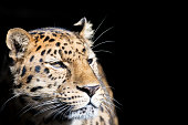 Leopard in sunlight against black background with space for text.