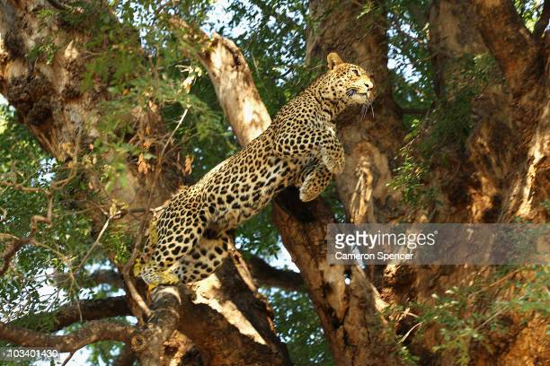 A leopard jumps from a branch in a tree at the Mashatu game reserve on July 25 2010 in Mapungubwe Botswana Mashatu is a 46000 hectare reserve located...