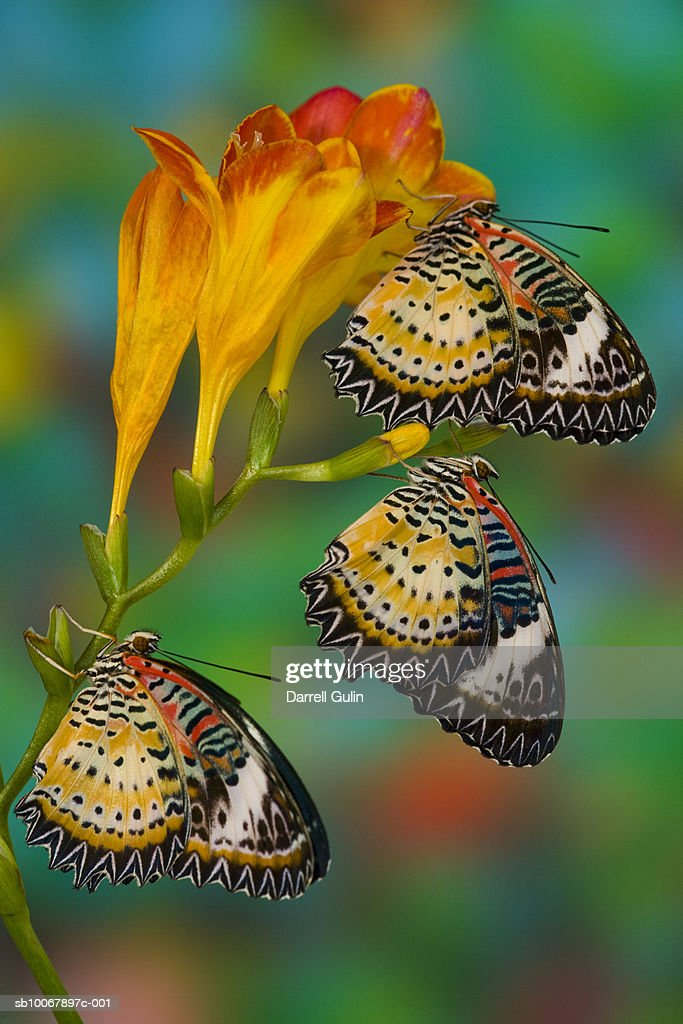 Leopard Lacewing tropical butterflies (Cethosia cyane) on flowers : Stock Photo