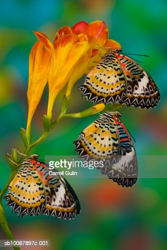 Leopard Lacewing tropical butterflies (Cethosia cyane) on flowers : Stock Photo
