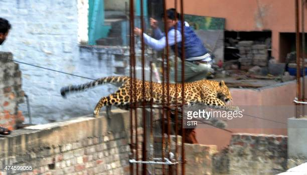 A leopard leaps across an underconstruction structure near a furniture market in the Degumpur residential area as a bystander moves out of the way in...