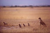 Leopard looking at cubs