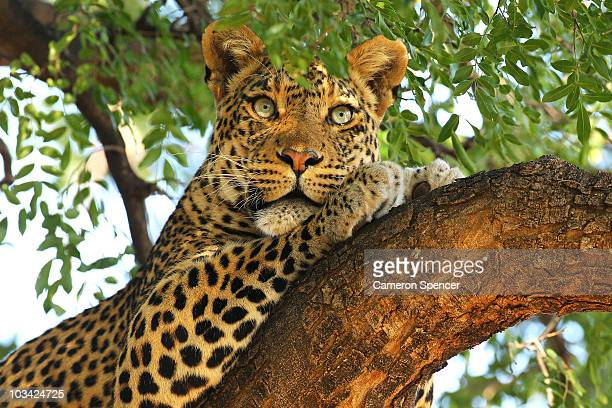 A leopard looks out from a tree at the Mashatu game reserve on July 25 2010 in Mapungubwe Botswana Mashatu is a 46000 hectare reserve located in...