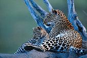 Leopard (Panthera pardus) lying with leopard cub, side view, Masai Mara, Kenya