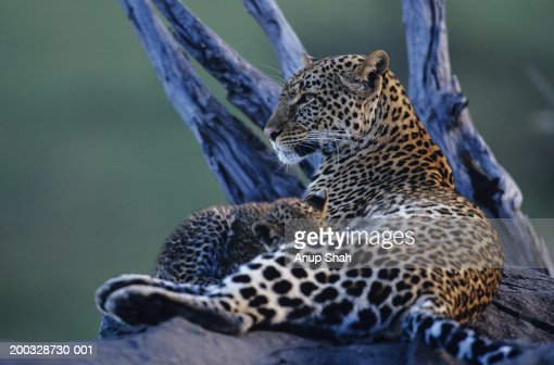 Leopard mother and cub (Panthera pardus), lying in tree, Kenya : Stock Photo