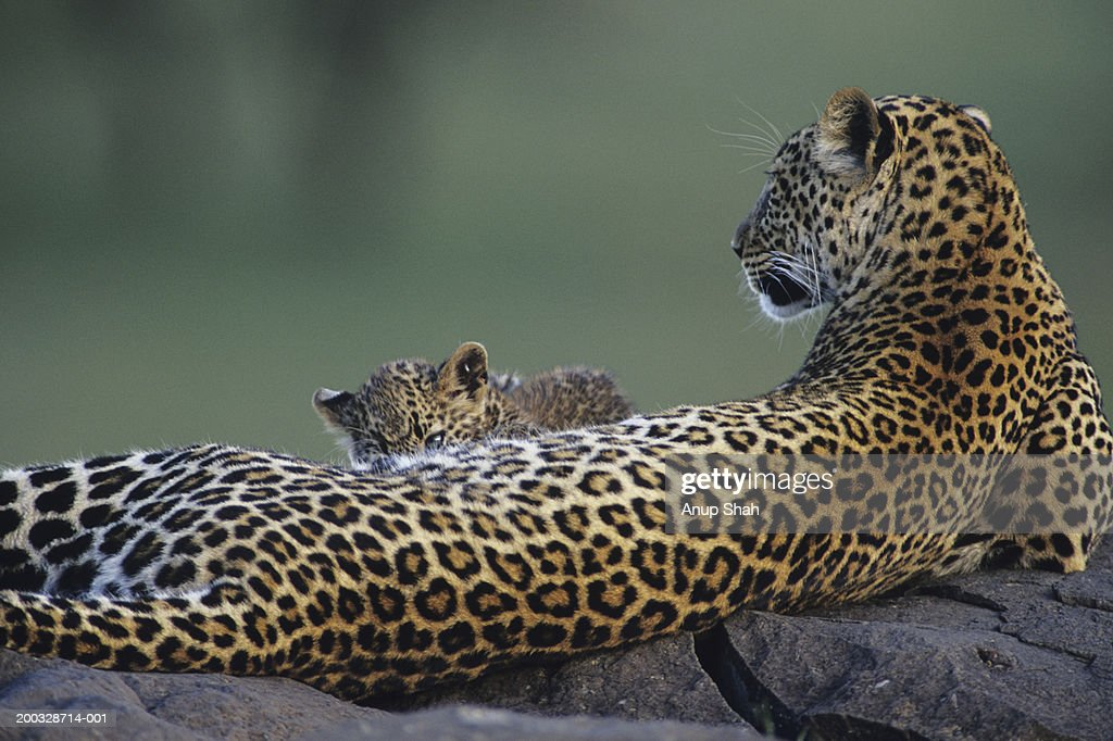 Leopard mother and cub (Panthera pardus), lying on rocks, Kenya : Stock Photo
