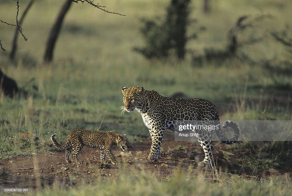 Leopard mother and cub (Panthera pardus), standing on savannah, Kenya : Stock Photo