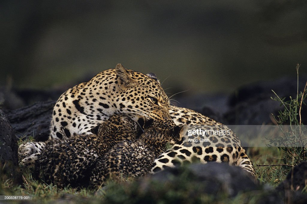 Leopard mother and two cubs (Panthera pardus), resting on grass, Kenya : Stock Photo