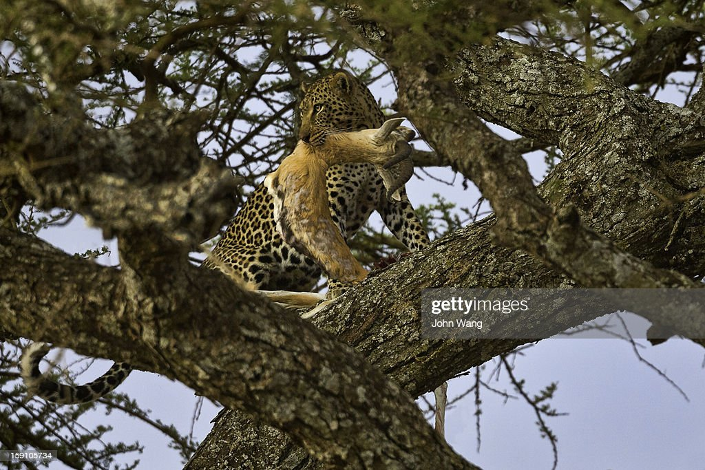 Leopard on a tree eating an impala : Stock Photo