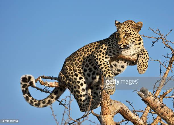 leopard on a tree in namibia
