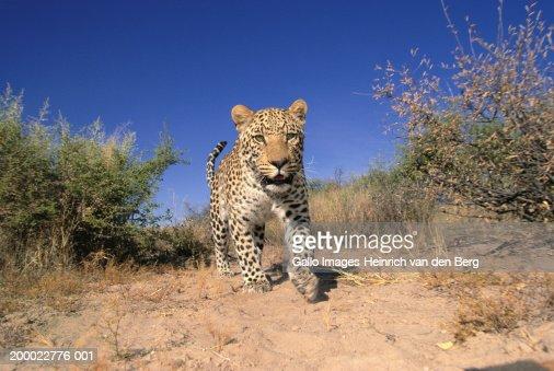 Leopard (Panthera pardus) on prowl : Stock Photo
