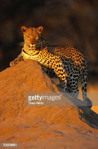 Leopard (Panthera pardus) on termite mount, Namibia