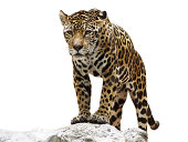 Dicut photo of leopard on the rock.