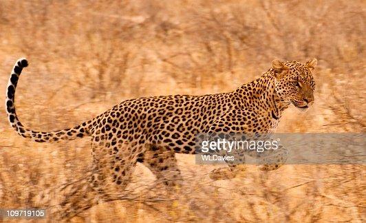 Leopard on the run : Stock Photo