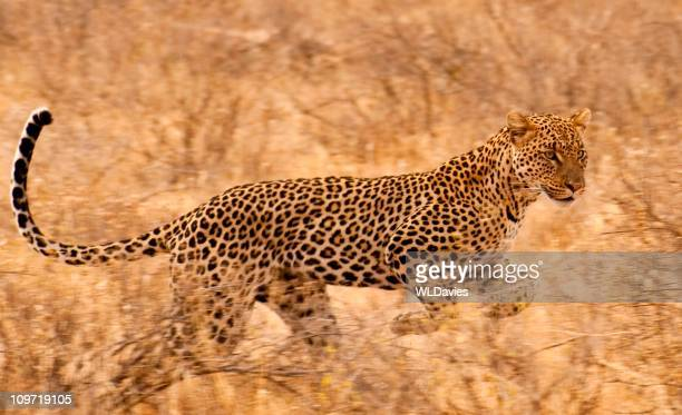 Leopard on the run