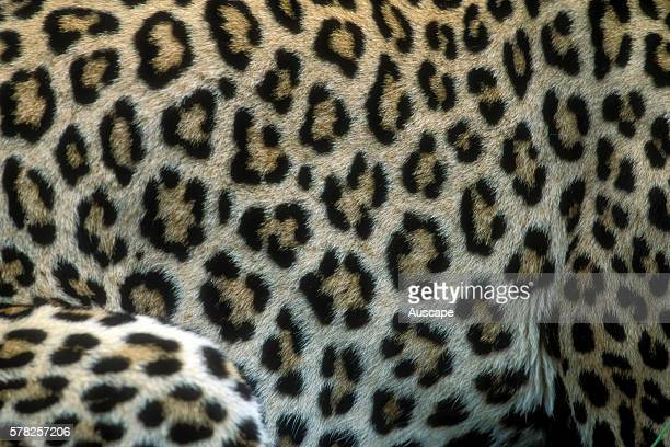 Leopard Panthera pardus flank pelt pattern Masai Mara National Reserve Kenya East Africa
