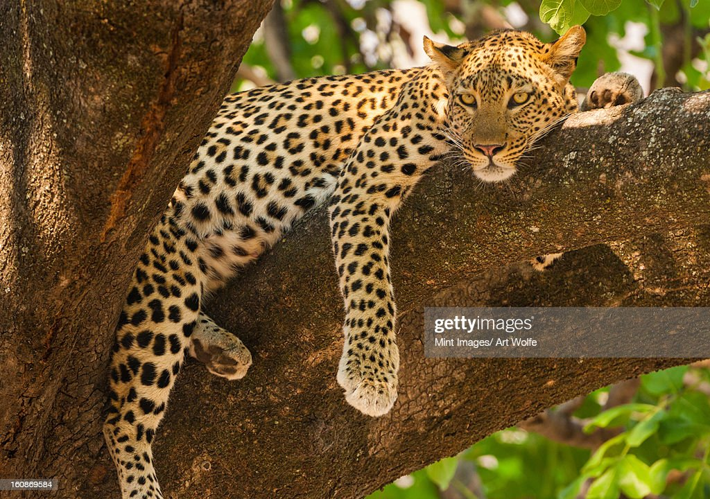 Leopard, Panthera pardus, Okavango Delta, Botswana. : Stock Photo