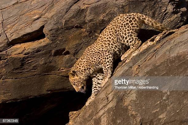 Leopard, Panthera pardus, Windhoek, Namibia, Africa