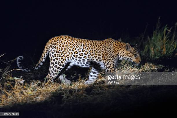 A leopard photographed in action during night safari Orient Express performs at Camp Khwai River Lodge by Orient Express in Botswana within the...