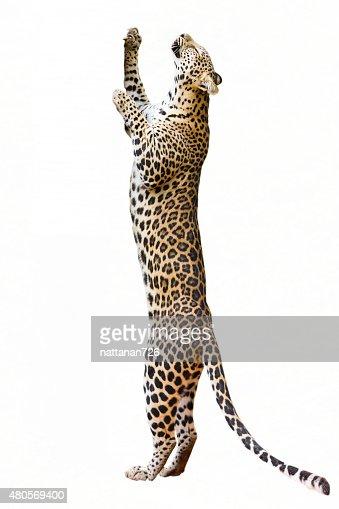 Leopard : Stock Photo
