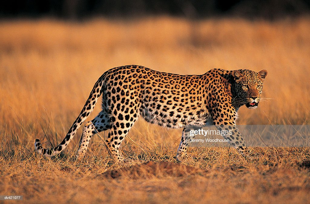 Leopard (Panthera pardus) : Stock Photo