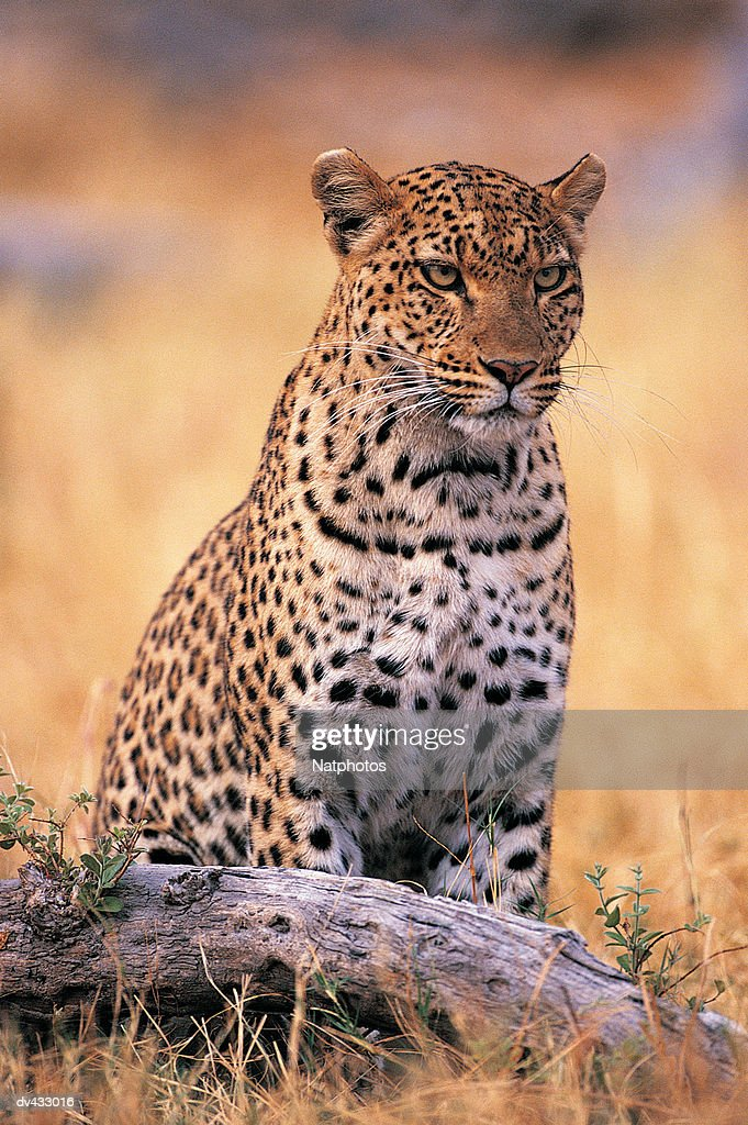 Leopard  (Panthera pardus) : Stock Photo