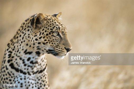 Leopard portrait : Stock Photo
