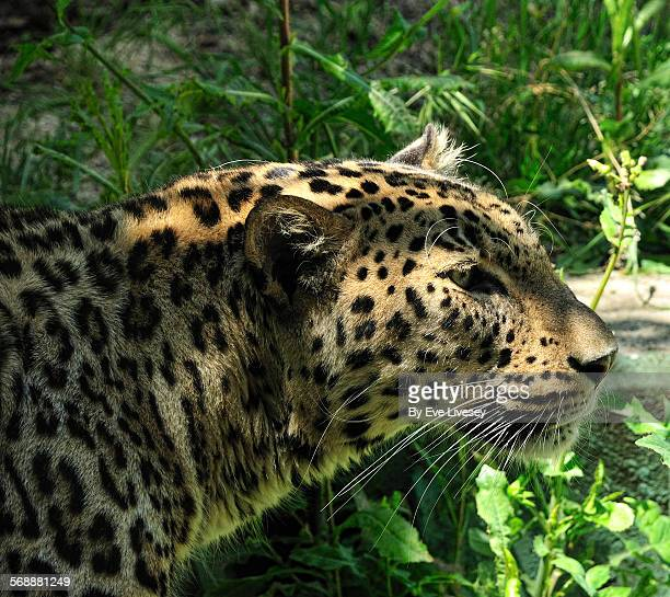 Leopard Potrait