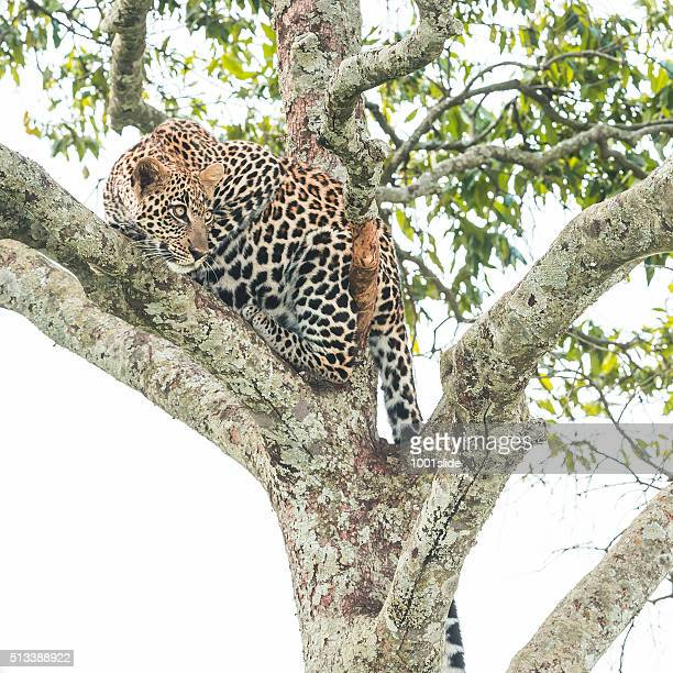 Leopard ready for jumping - camouflage