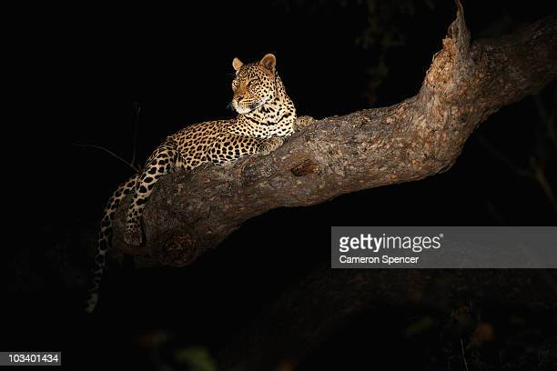 A leopard relaxes in a tree at night in the Mashatu game reserve on July 25 2010 in Mapungubwe Botswana Mashatu is a 46000 hectare reserve located in...